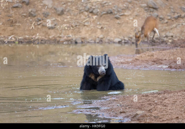 Sloth bear (Melursus ursinus), adult bathing in waterhole, with Indian muntjac (Muntiacus muntjak) in background, - Stock-Bilder