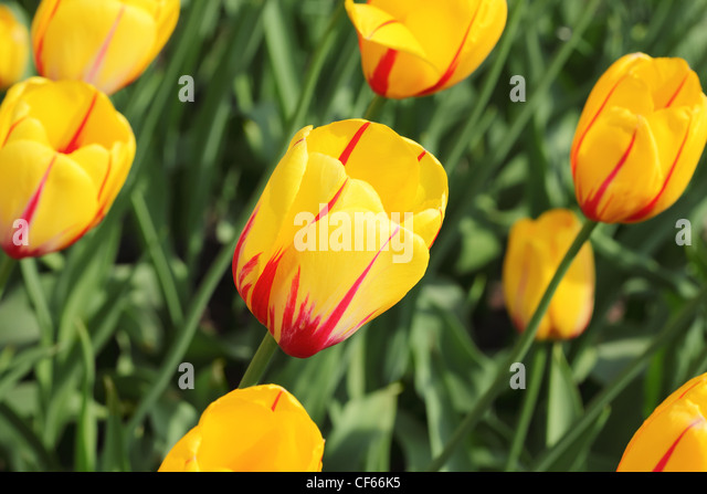 closeup of flowerbed with bright beautiful yellow tulips, Prince Vladimir sort - Stock Image