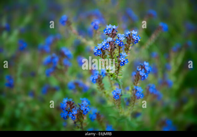 Variety of Forget-Me-Not. Along Imnaha River, Eastern Oregon. Hells Canyon National Recreation Area, Oregon - Stock-Bilder