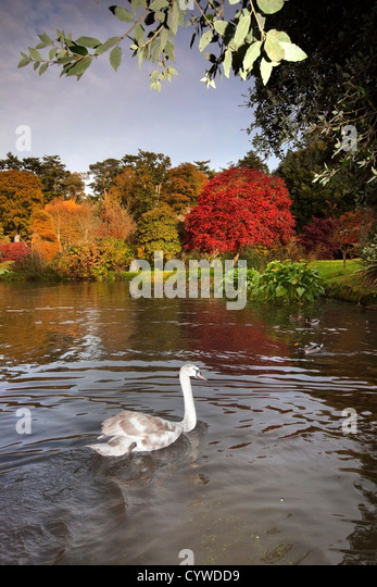 Swan captured on the lake at Mount Stewart, Northern Ireland. - Stock-Bilder