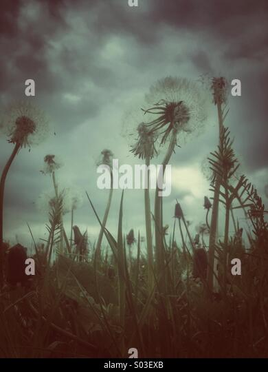 Dandelions with grunge effect applied. - Stock Image