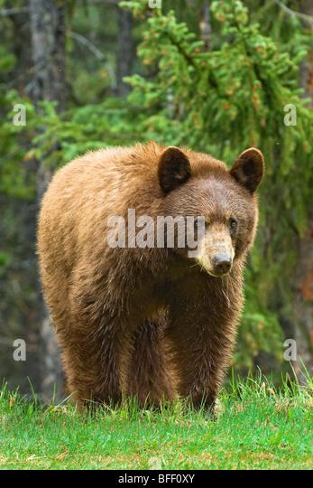 Cinnamon-coloured American black bear (Ursus americanus), Rocky Mountains, western Alberta, Canada - Stock Image