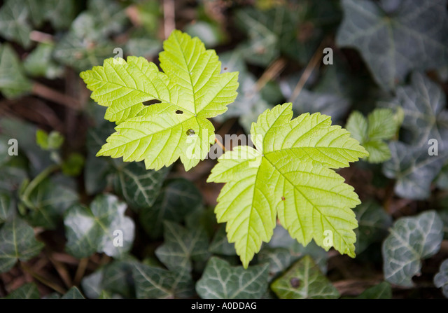 acer pest Noteworthy characteristics acer griseum, commonly called paperbark maple, is a small, deciduous, oval to oval-rounded tree with slender upright branchingit is particularly noted for its exfoliating copper orange to cinnamon reddish/brown bark and.