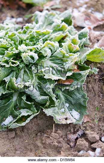 Broad-leaved endive covered in frost in December. - Stock Image