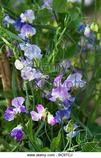 Lathyrus odoratus, Sweet pea 'Blue and lilac ripple' flowers - Stock Image