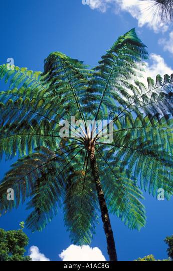 St Lucia rain forest tree fern Saint Lucia caribbean island - Stock Image