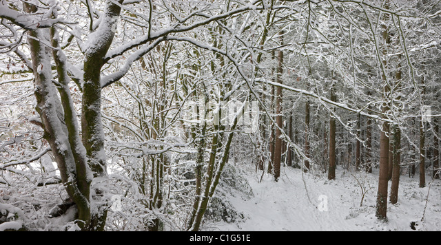 Snow covered woodland scene, Morchard Bishop, Devon, England. Winter (December) 2010. - Stock Image