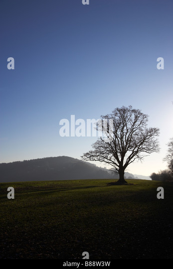 Oak Tree in Evening Sky near Goodrich Castle, Herefordshire, England, UK - Stock Image
