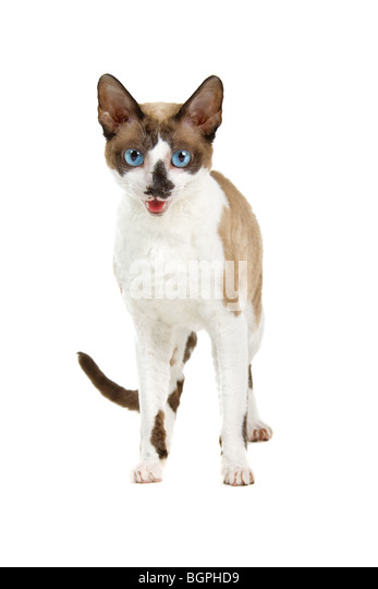 Closeup of Cornish Rex cat isolated on white background. - Stock Image