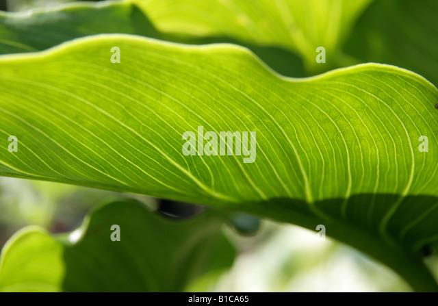 Detail of leaf back lit backlit. - Stock Image