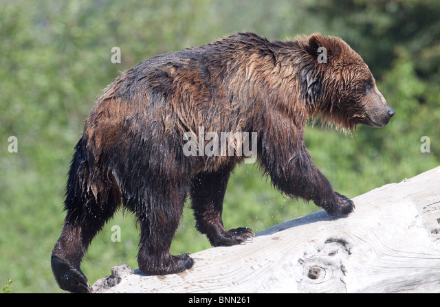 CAPTIVE: A water soaked Brown bear walks up a log at the Alaska Wildlife Conservation Center, Alaska - Stock Image