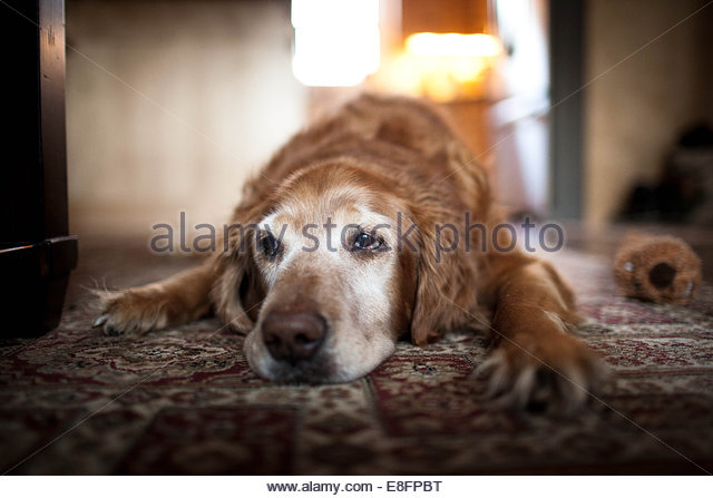 Dog lying down on carpet - Stock-Bilder