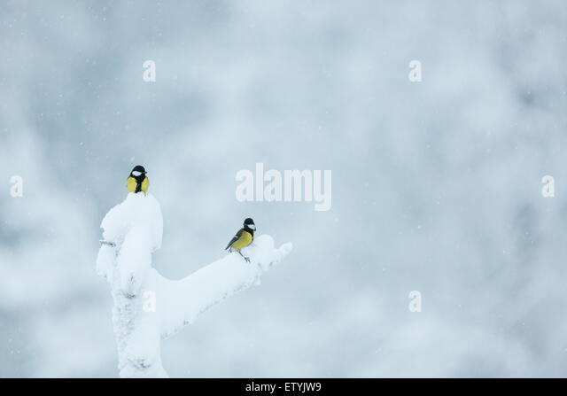 Two Great tit, Parus major, sitting in an snowy old tree, one in  the top and the other on a branch - Stock-Bilder