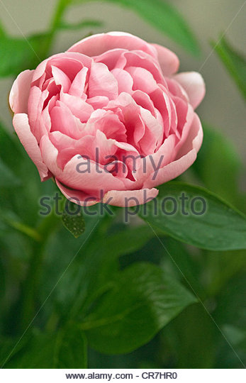 Paeonia 'Etched Salmon' (double pink peony flower) - Stock Image