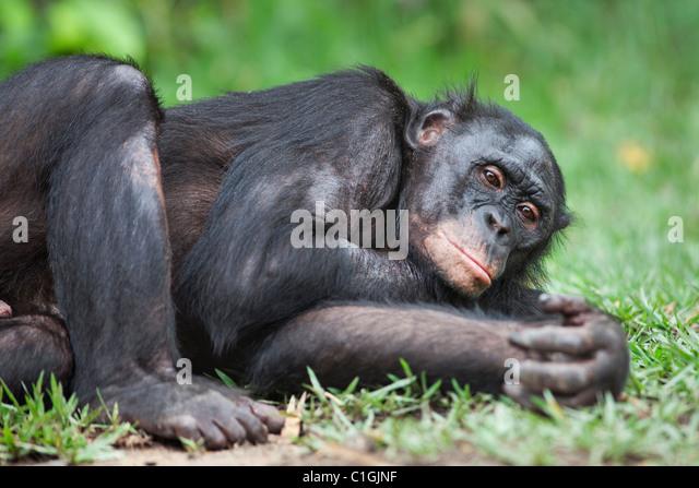Adult Bonobo Chimpanzee sleeping at the Sanctuary Lola Ya Bonobo, Democratic Republic of the Congo - Stock Image