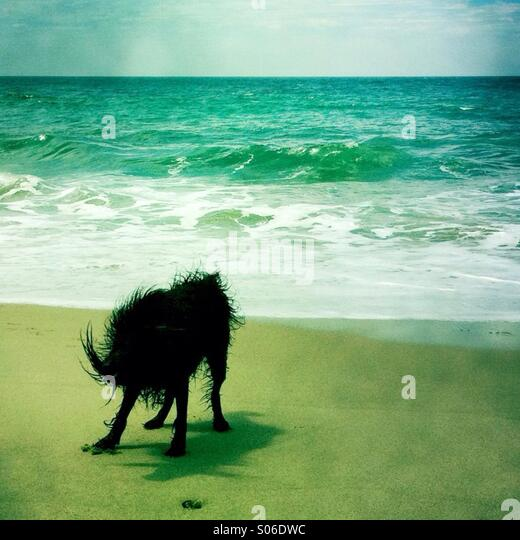 A black labradoodle dog shakin off water at the beach. Ventura California USA. - Stock Image