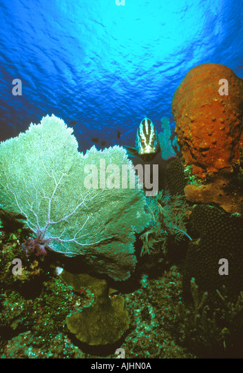 Caribbean Coral Reef Nassau Grouper between Sea Fan and orange encrusted rock - Stock Image