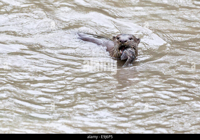 Smooth-coated otter (Lutrogale perspicillata) in mangrove habitat, Singapore - Stock Image