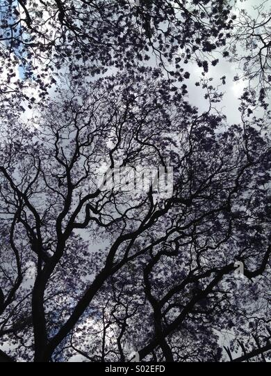 Jacaranda trees - Stock Image