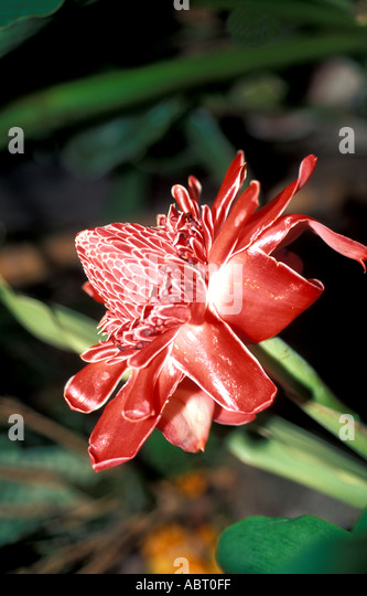 Tropical Flower Torch Ginger - Stock Image