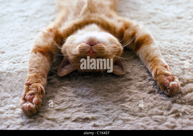 A house cat with outstretched paws sleeps peacefully on its back on a soft carpet. - Stock-Bilder