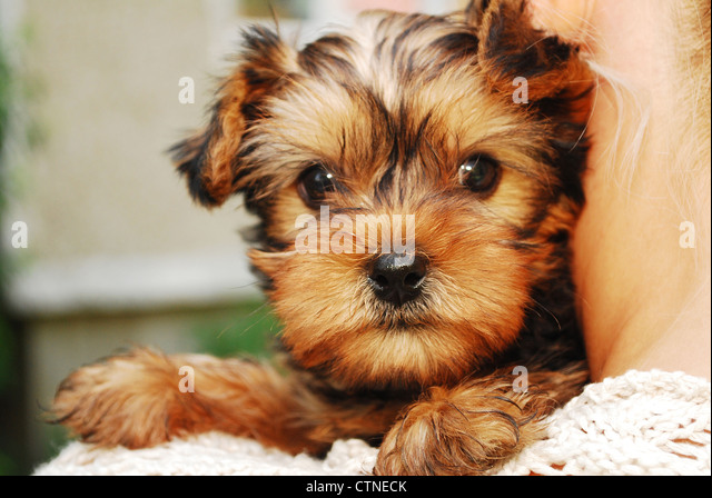 haircuts for dogs terrier pup stock photos amp terrier pup 5448