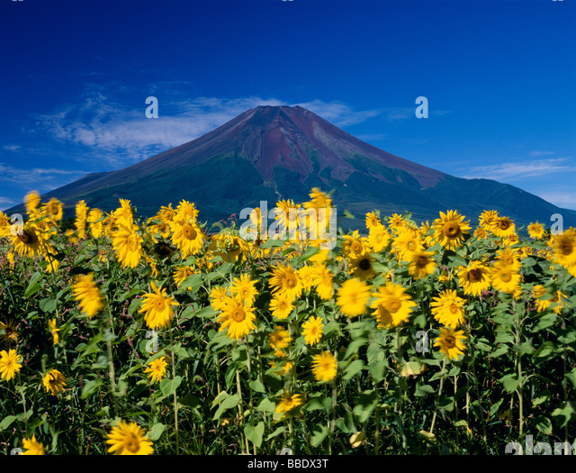 Mt.Fuji And Sunflower - Stock Image