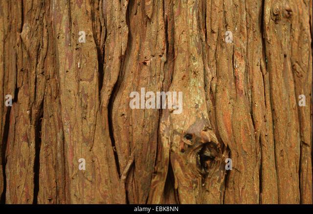 Lawson cypress, Port Orford cedar (Chamaecyparis lawsoniana), bark - Stock Image