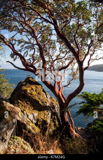 Arbutus Tree (Arbutus menziesii) - East Sooke Regional Park, Sooke, Vancouver Island, British Columbia, Canada - Stock Image