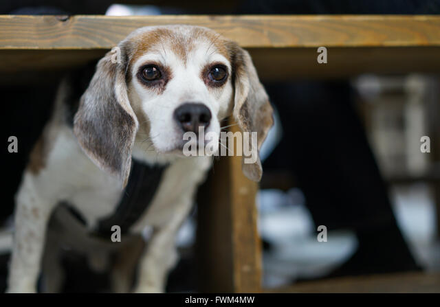 Portrait Of Dog Under Table - Stock Image