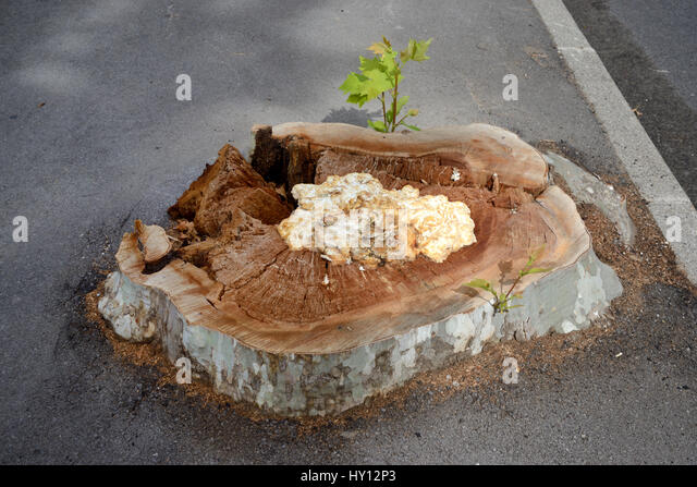 Stump and Fungus or Cancre of Diseased Plane Tree Infected by Massaria Disease Cut Down in Aix-en-Provence France - Stock Image