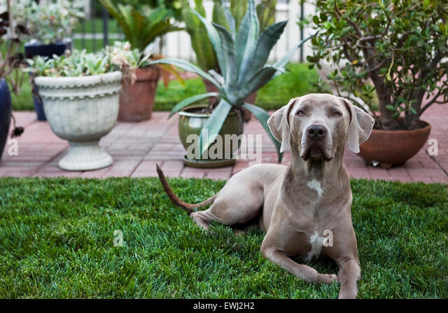 Regal Weimaraner dog laying down in lush backyard grass in front of multiple potted plants - Stock Image