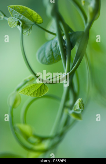 Morning glory vine with heart shaped leaves, close-up - Stock Image
