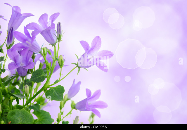 Beautiful purple background with campanula flowers - Stock Image