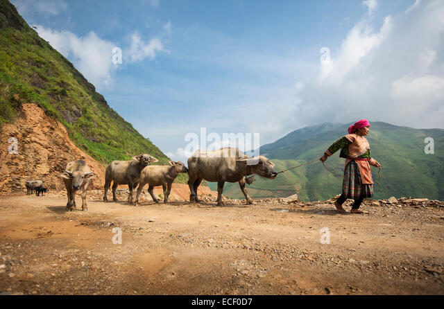 Hmong woman on a mountain road transporting water buffalo to a local