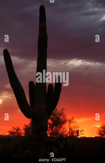 Saguaro cactus at sunset, Scottsdale, Arizona. - Stock Image
