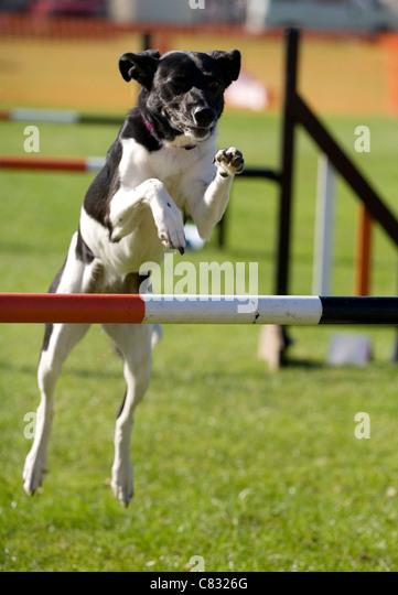 Domestic dog Single adult jumping hurdle UK - Stock Image