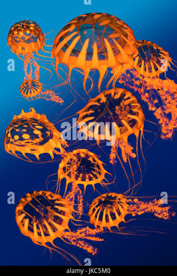 A group of golden jellyfish dance around each other in blue ocean surface waters. - Stock Image