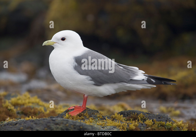 Red-legged Kittiwake standing on a rock, Saint Paul Island, Pribilof Islands, Bering Sea, Southwest Alaska - Stock Image