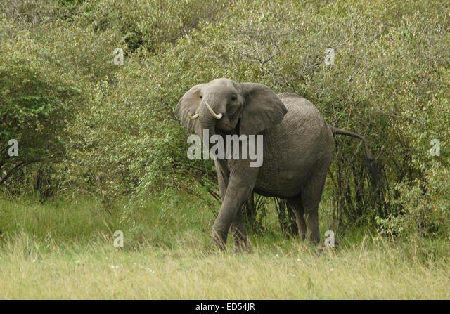 Angry elephant emerging from bush, Masai Mara, Kenya - Stock Image