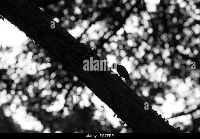 Pygmy Woodpecker, singapore - Stock Image