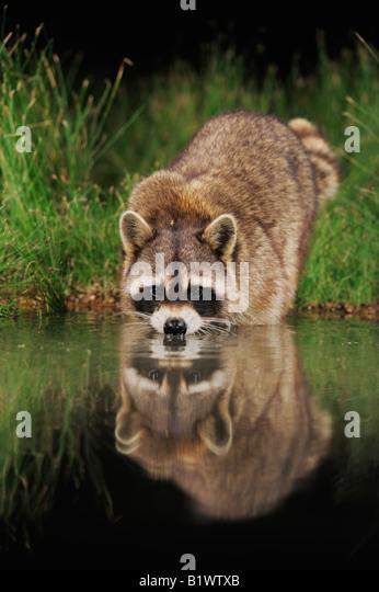 Northern Raccoon Procyon lotor adult at night drinking from wetland lake Refugio Coastel Bend Texas USA April 2008 - Stock Image