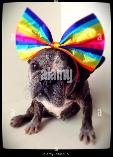 A cute old French bulldog wearing a rainbow bow. - Stock Image