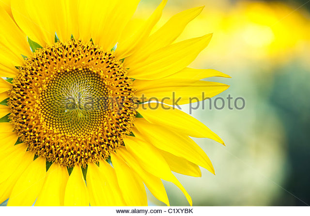 Sunflower in the Indian countryside, Andhra Pradesh, India - Stock Image