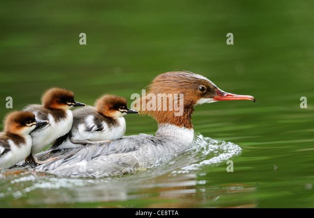 Mergus merganser chicks on back of mother - Stock-Bilder
