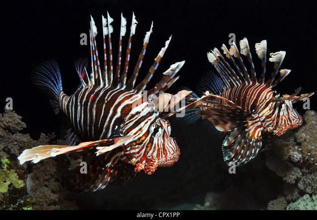 Two Lionfish in the Red Sea, Egypt - Stock Image