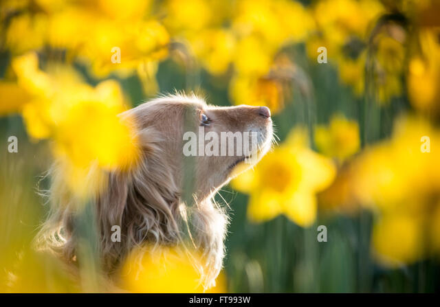 London, UK. 25th March, 2016. UK Weather: Spring daffodil flowers in St. James's Park seen in  afternoon sunshine - Stock Image