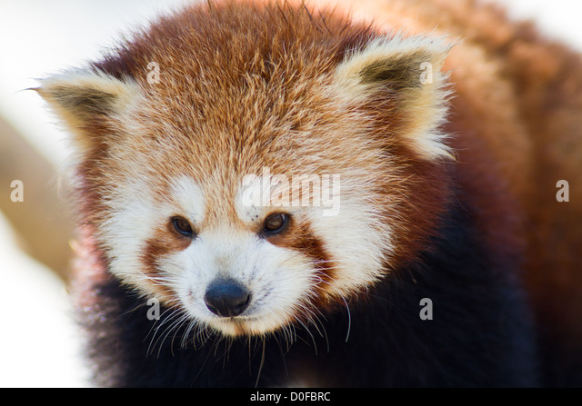 Close up of a Red Panda - Ailurus fulgens - Stock Image