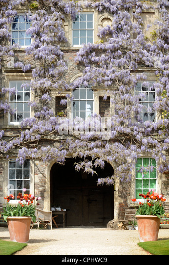 Wisteria sinensis blends with a climbing rose at Hanham Court Gardens near Bath, UK home of garden designers Julian - Stock Image