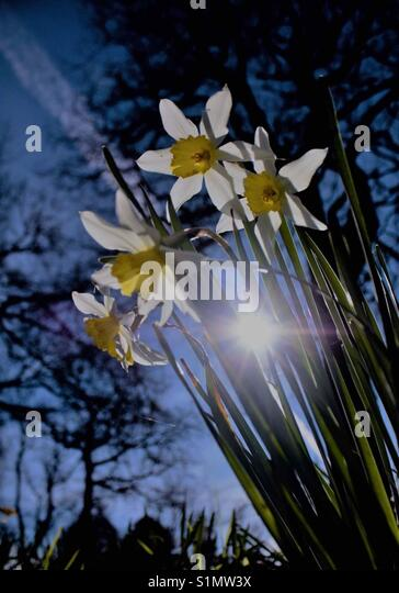 Daffodils in bloom around Christchurch - Stock Image
